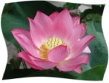 LotusFlower160x121
